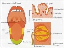 Lengua Anatomía Ecured