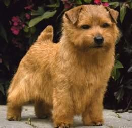 Norfolk terrier pelo corto