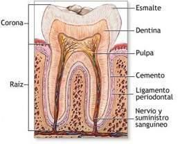 Esmalte dental - EcuRed 1c49e7f5ef57