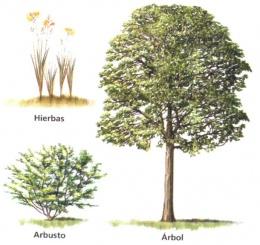 Tipos de plantas ecured for Cuanto mide un arbol