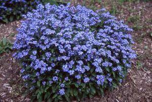 Nomeolvides Flor Myosotis Ecured