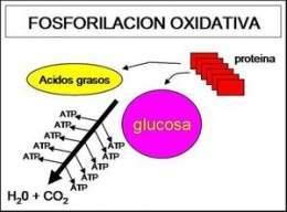 Fosforilacion oxidativa yahoo dating