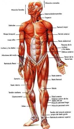 Sistema Muscular Ecured