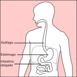 Stomach diagram-es.png