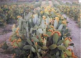 Opuntia microdasys reproduccion asexual en