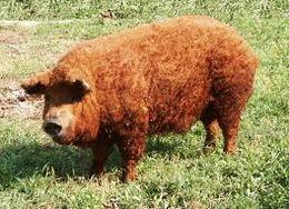Cerdo mangalica - EcuRed b8b3e1cef276